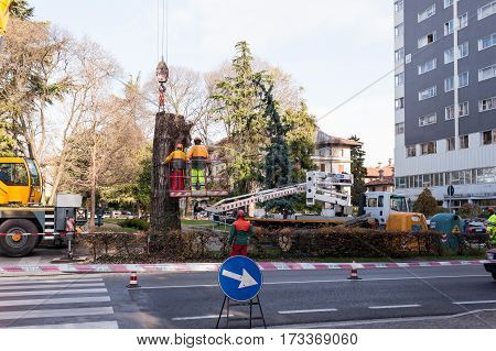 Cutting A Large Tree In A City.