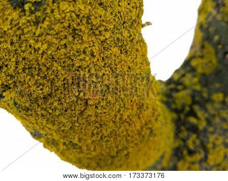 maritime sunburst lichen (Xanthoria parietina) on the tree stem, shallow depth. yellow lichen.