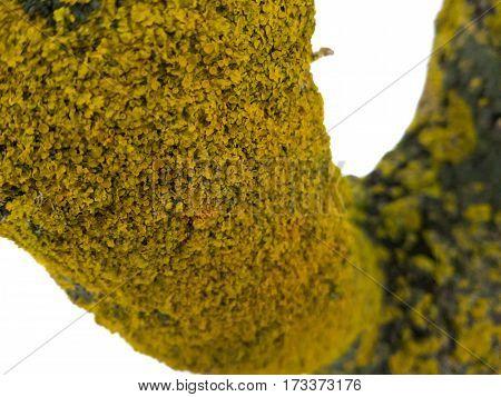 maritime sunburst lichen (Xanthoria parietina) on the tree stem, shallow depth. yellow lichen.