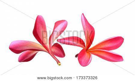 frangipani flower isolated on the white background.