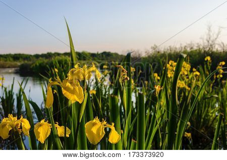 SPRING LANDSCAPE - Yellow Irises in the marsh (Iris Pseudacorus)