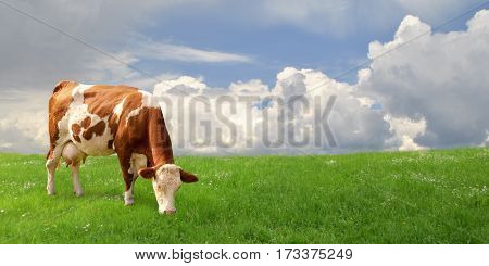 Young cow grazing in the summer at the farmer's field.