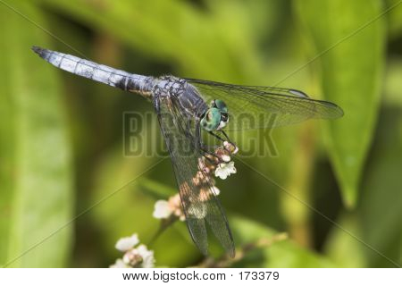 Dragonfly On A Flower-6_051101