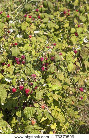 Raspberry bushes with ripe fruits on ecological plantation
