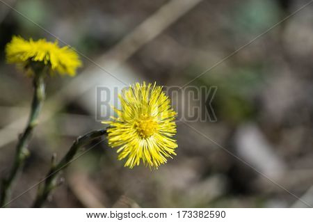 Coltsfoot Flower In A Bright Sunny Spring Day