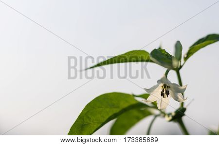 Close up white flower pepper in field plant agriculture farm.