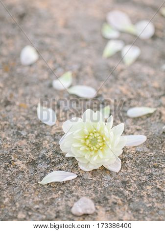 the white flower lying on a stone, the white petals of a flower lying on a stone background, DOF.