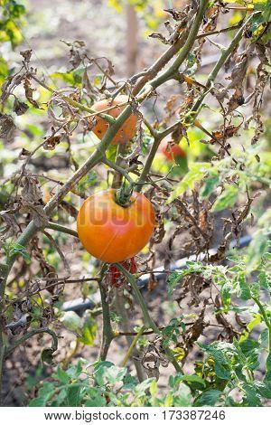 Tomato Diseased Plant In The Garden Rotten