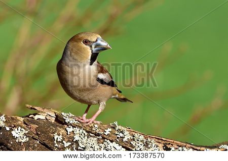 Hawfinch-female during the winter sitting on broken arm