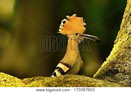 Hoopoe holding in its beak food-insects on a dark background
