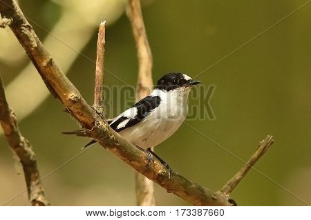 Collared Flycatcher male sitting on a dry twig in the forest