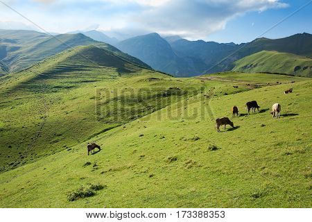 Cows grazing on a green slope of mountains of Georgia