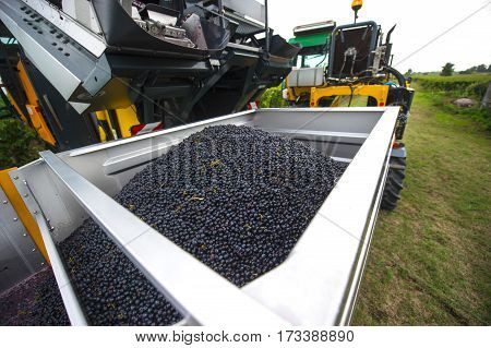 Mechanical harvesting of grapes in the vineyard France