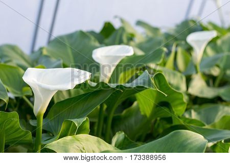Production Of White Calla Flowers In The Greenhouse