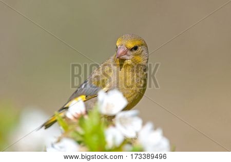 Greenfinch, selective focus on a head shallow depth of field