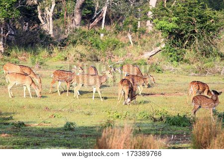 Sri Lankan axis deer Axis axis ceylonensis also called Ceylon spotted deer