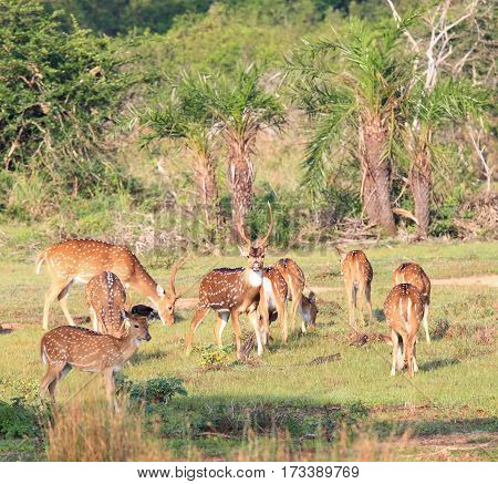 Sri Lankan axis deer Axis axis ceylonensis also called Ceylon spotted deer Wilpattu