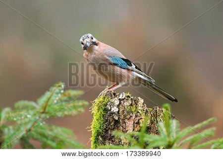 Eurasian jay standing on a tree stump