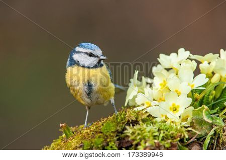 Blue tit standing next to primroses flowers