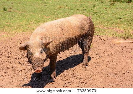 A pink sow dirty of mud (pig)