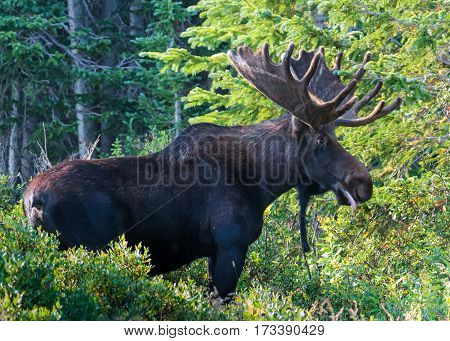 Shiras bull moose in woods of Northern Colorado.