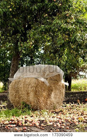 haystack protected by weatherproof polyethylene with fallen apples on the ground