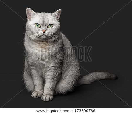 Beautiful Gray British shorthair cat with yellow eyes on a black background.