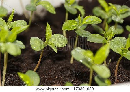 Plants in nursery tray. Wild apple seedlings from seeds grown graft.