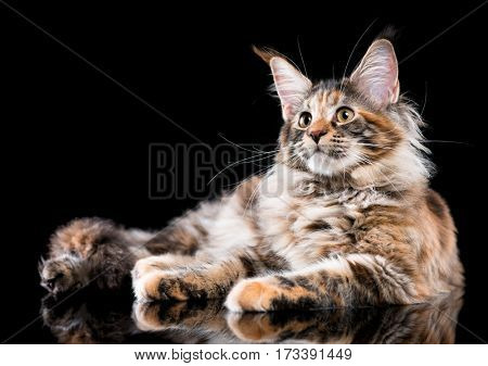 Portrait of domestic tortoiseshell Maine Coon kitten. Fluffy kitty on black background. Adorable curious young cat lying down and looking away.