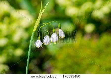 Snowdrops in spring. White snowdrops in the morning