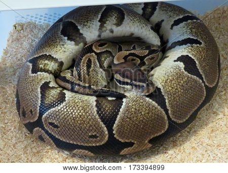 Female royal / ball python coiled around her eggs