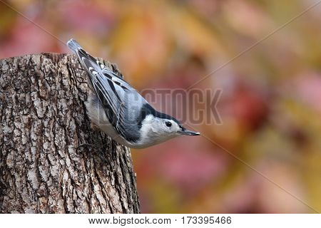 A white breasted nuthatch perching on a tree stump in Fall