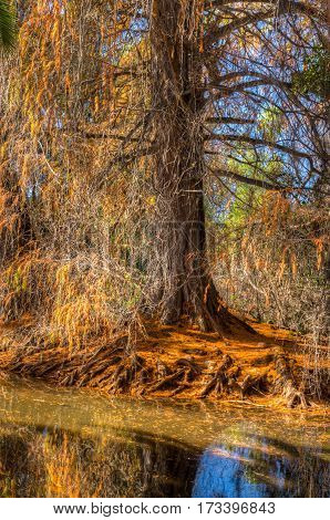 Gnarled Roots Of Redwood Tree At Water's Edge