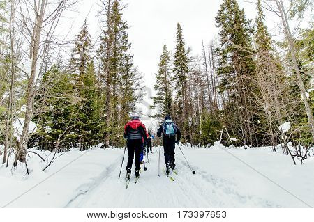 back group skiers in pine forest in winter classic style
