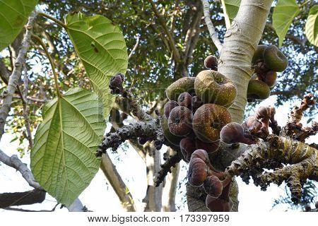Ficus auriculata (Roxburgh fig) with lot of fruit picture from botanical garden in Puerto de la cruz Tenerife Spain.