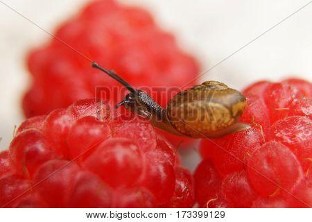 Small garden snail on red berries, raspberry, closeup