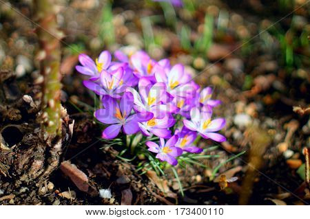 First spring flowers. Bunch of purple crocuses in sunlight in the grass.