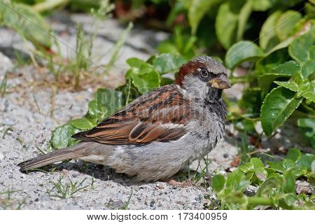 House sparrow stitting on the ground in sand resting