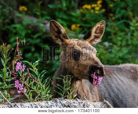 Shiras moose calf in the Rocky Mountains of Colorado.