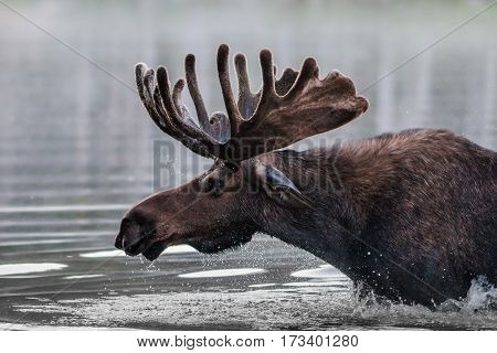 Shiras bull moose in the Rocky Mountains of Colorado.