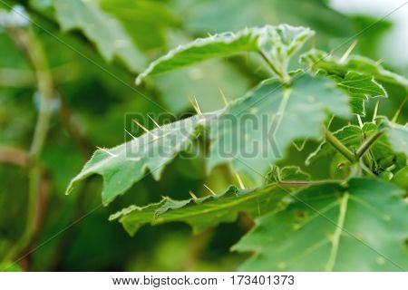 Spiny leaves of Solanum mammosum is commonly known as nipplefruit titty fruit or cow's udder.