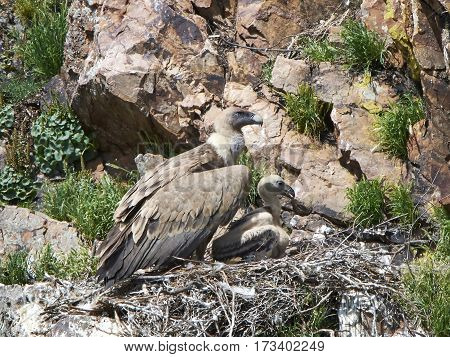 Griffon vulture in her nest with a little chick