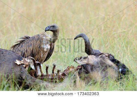 Vulture Feeding On A Kill