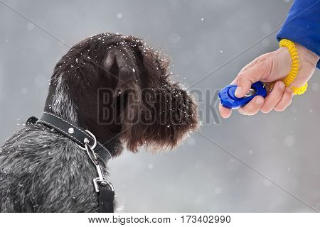 training puppy of hunting dog with clicker