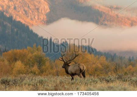 a bull elk in a meadow at sunrise in Wyoming