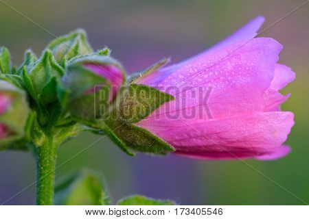Close-up image of a Hollyhock flower with dew on the pedal.