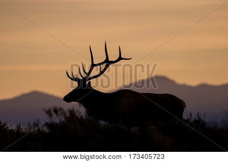 a bull elk silhouetted in the sunrise in Wyoming