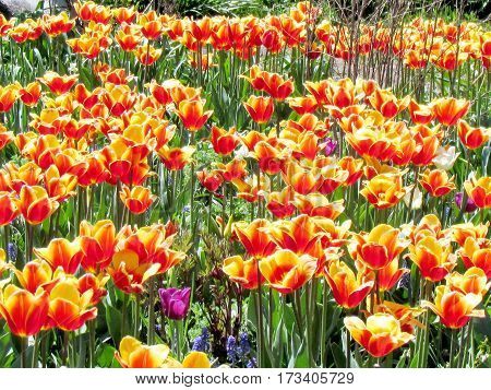 Carpet of orange tulip spring in garden in Toronto Canada