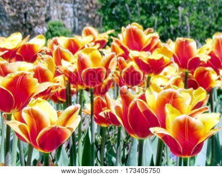 Orange tulip flowers spring in garden in Toronto Canada
