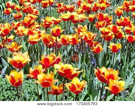 The orange tulips spring in garden in Toronto Canada